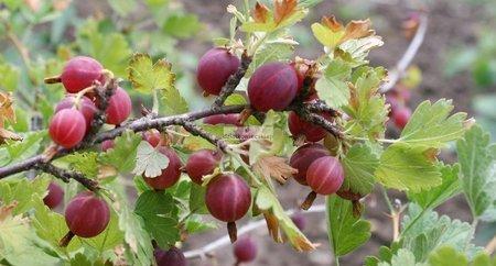 Agrest krzaczasty Hinnonmaki RÖD - czerwony (ribes uva-crispa)