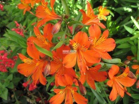 Alstroemeria Orange King (1 szt.) (Alstromeria)
