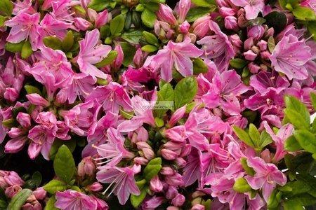 Azalia japońska Kermesina Rosea (azalea japonica)