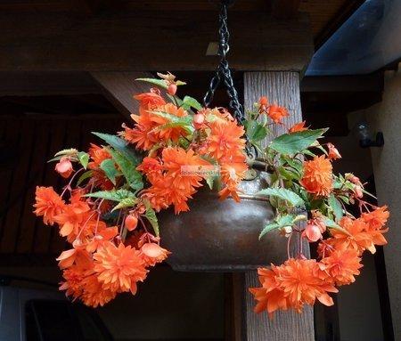 Begonia zwisająca pomarańczowa (1 szt.)