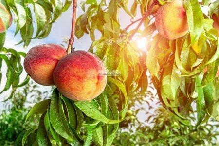 Brzoskwinia Harnaś - samopłodna! (Prunus Persica) (goły korzeń)