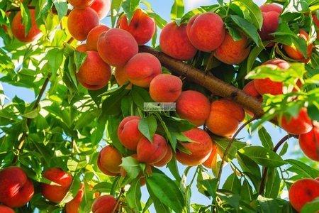Brzoskwinia Redhaven - samopłodna! (Prunus Persica) (goły korzeń)