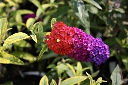 Budleja Flower Power (Buddleia Flower Power)