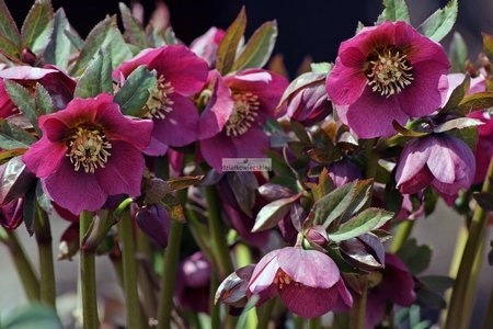 Ciemiernik 'HGC ® Ice N' Roses Early Red'  (Helleborus 'HGC ® Ice N' Roses Early Red')