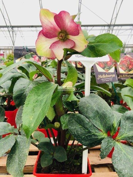 Ciemiernik 'HGC ® Ice N' Roses Rosado' (Helleborus)