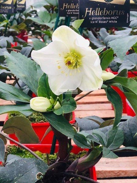 Ciemiernik 'HGC ® Ice N' Roses White'  (Helleborus 'HGC ® Ice N' Roses White')