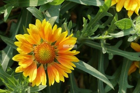 Gaillardia Galya  Yellow (1szt.)