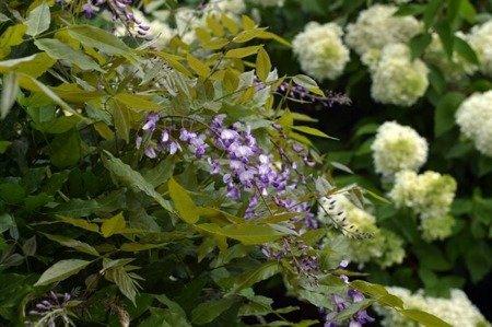 Glicynia Letnia (Millettia japonica) - Fioletowa