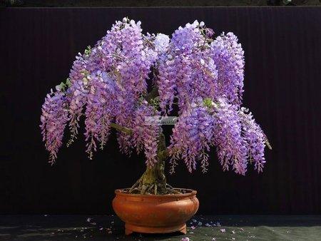 Glicynia kwiecista (Bonsai Art.) (wisteria floribunda)