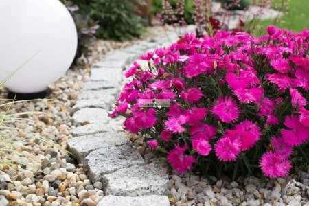 Goździk Suntory Pink  (1szt.)