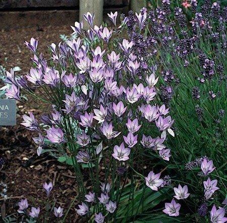 Hiacynt Kalifornijski (1 szt.) (Brodiae Foxy)