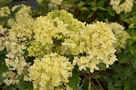 Hortensja bukietowa Bombshell PBR (Hydrangea paniculata)