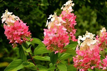Hortensja bukietowa Pinky Winky DVPPinky PBR (Hydrangea paniculata)