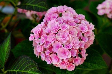 Hortensja ogrodowa LOVE Youme H1917 (Hydrangea macrophylla)