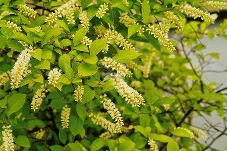 Itea wirginijska (Itea virginica)