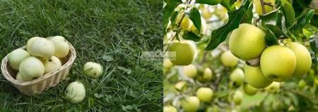 Jabłoń -  2 odmiany! (Oliwka Żółta+Kosztela)