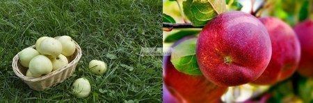 Jabłoń -  2 odmiany! (Oliwka Żółta+Lobo)