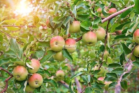 Jabłoń Ananas Berżenicki (Malus domestica Ananas Berżenicki)