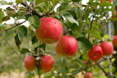 Jabłoń Lired