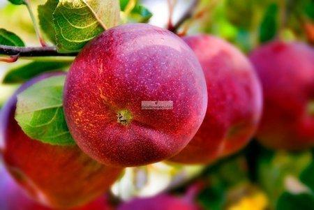 Jabłoń Lobo (goły korzeń)