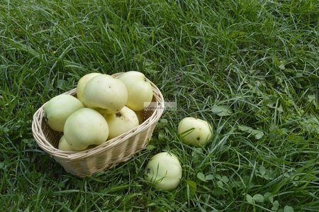 Jabłoń Oliwka Żółta (Papierówka) (goły korzeń)