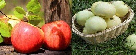 Jabłoń - jedno drzewko 2 odmiany! (Cesarz Wilhelm+Oliwka Żółta) - owoce zielono żółte z czerwonym rumieńcem i seledynowe