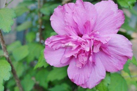 Ketmia syryjska Purple Ruffles (Hibiscus syriacus)