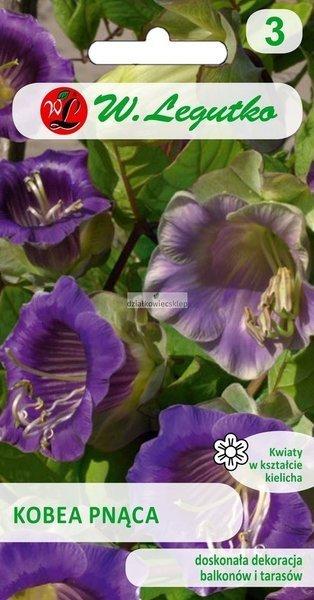 Kobea pnąca - fioletowa (6 nasion)
