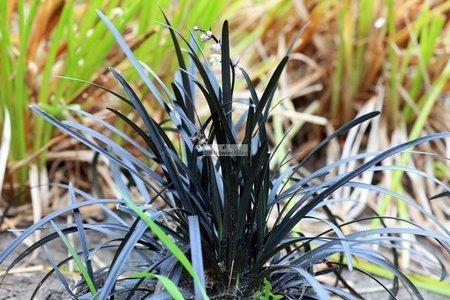 Konwalnik płaskopedowy Nigrescens – CZARNA TRAWA (Ophiopogon planiscapus)