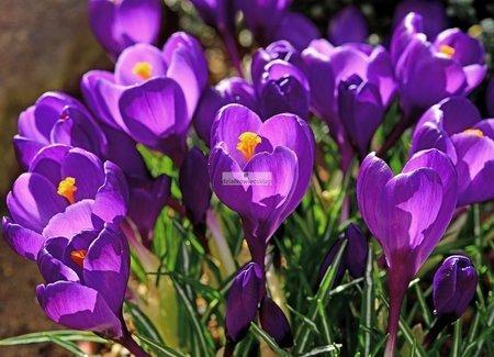 Krokus wielkokwiatowy Flower Record (10 szt.) (Crocus)