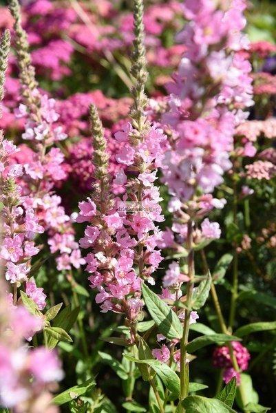 Krwawnica pospolita Blush (Lythrum salicaria)