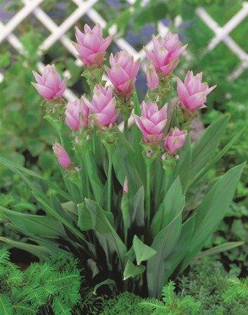 Kurkuma Alismatifolia (1 szt.) (curcuma alismatifolia)
