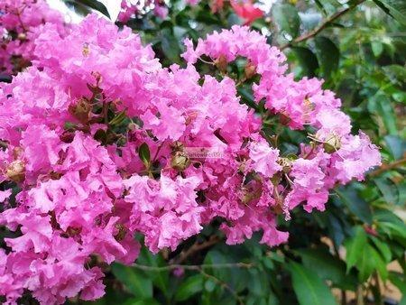 Lagerstremia indyjska Petite Pink - Bez Południa (Lagerstroemia indica)