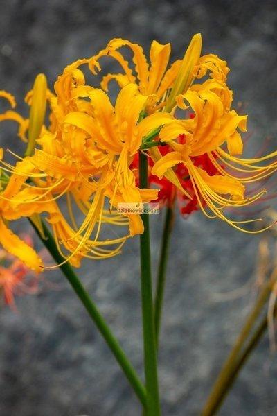 Likorys Aurea (1 szt.) (lycoris)