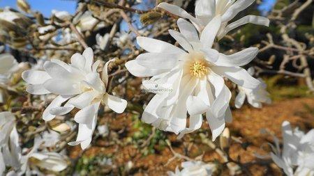Magnolia x loebneri Encore