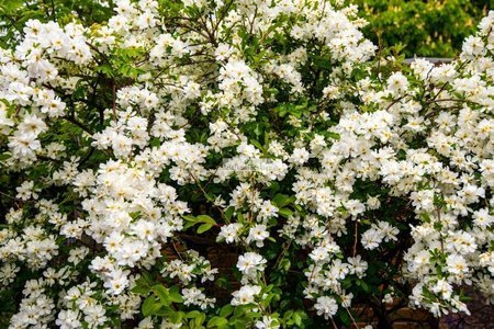 Obiela The Bride (Exochorda)