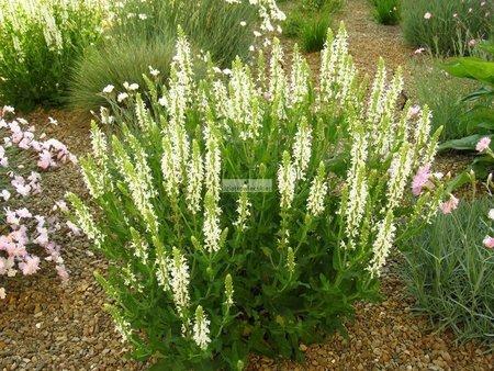 Orszelina olcholistna Sixteen Candles (Clethra alnifolia Sixteen Candles)