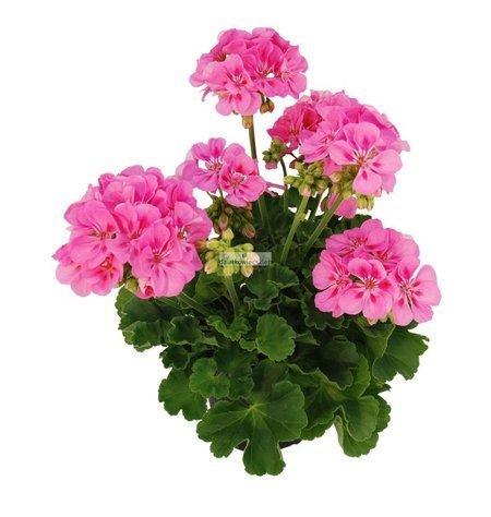 Pelargonia rabatowa różowa (pelargonium zonale)
