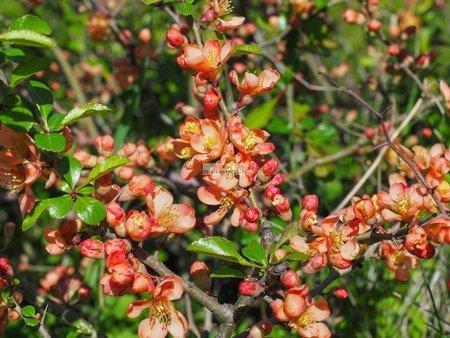 Pigwowiec japoński Orange Trail (Chaenomeles ×superba)