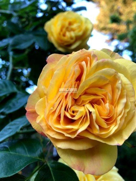 Róża mini-pnąca Starlet ® Lizyy (rosa)