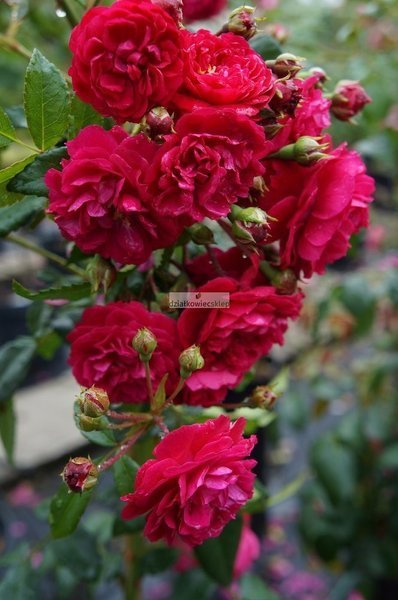 Róża mini-pnąca Starlet ® Lola (rosa)