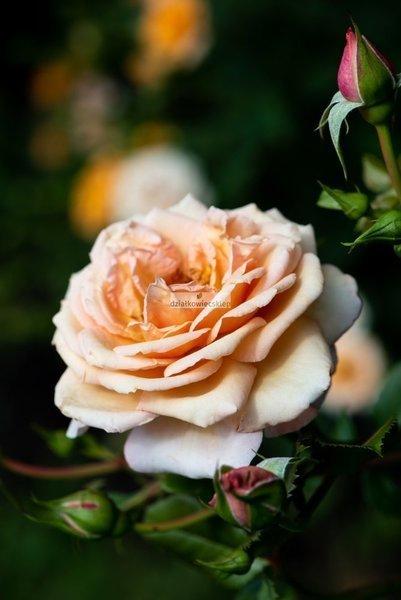 Róża pnąca Barok ® (rosa)