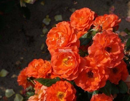 Róża rabatowa Anna (Miss Tango) (rosa)