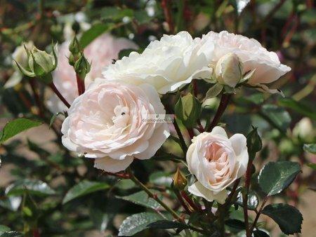 Róża rabatowa Sea Foam (rosa)