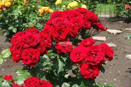 Róża wielkokwiatowa Dominica (rosa)