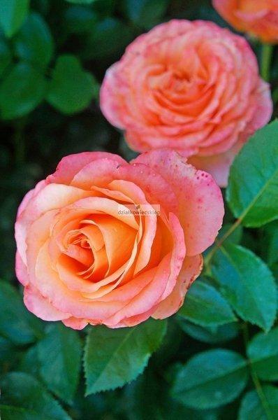 Róża wielkokwiatowa Ibiza® (rosa)