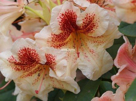 Różanecznik Bernstein (rhododendron)