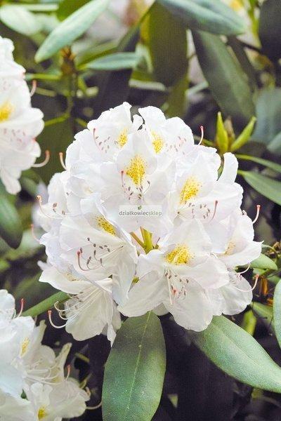 Różanecznik Madame Masson (rhododendron)