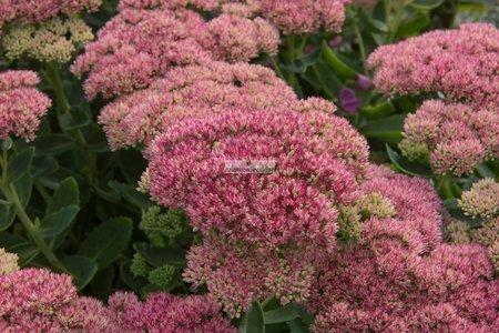 Rozchodnik Herbstfreude (1 szt.) (sedum)