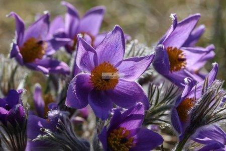 Sasanka Blue (1 szt.) (pulsatilla vulgaris)